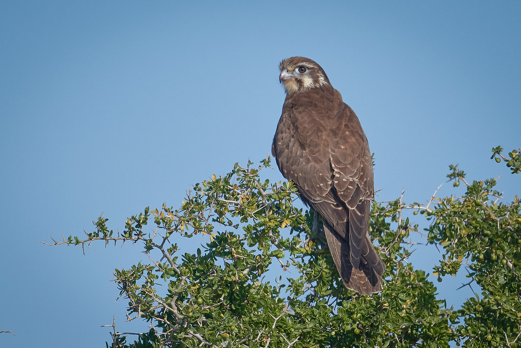 Brown Falcon: Learning to Live in Brown Falcon Time