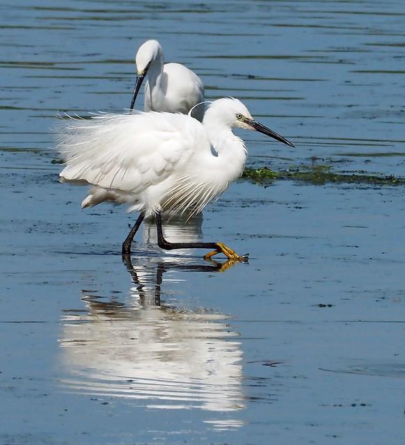 Egrets at Attenborough