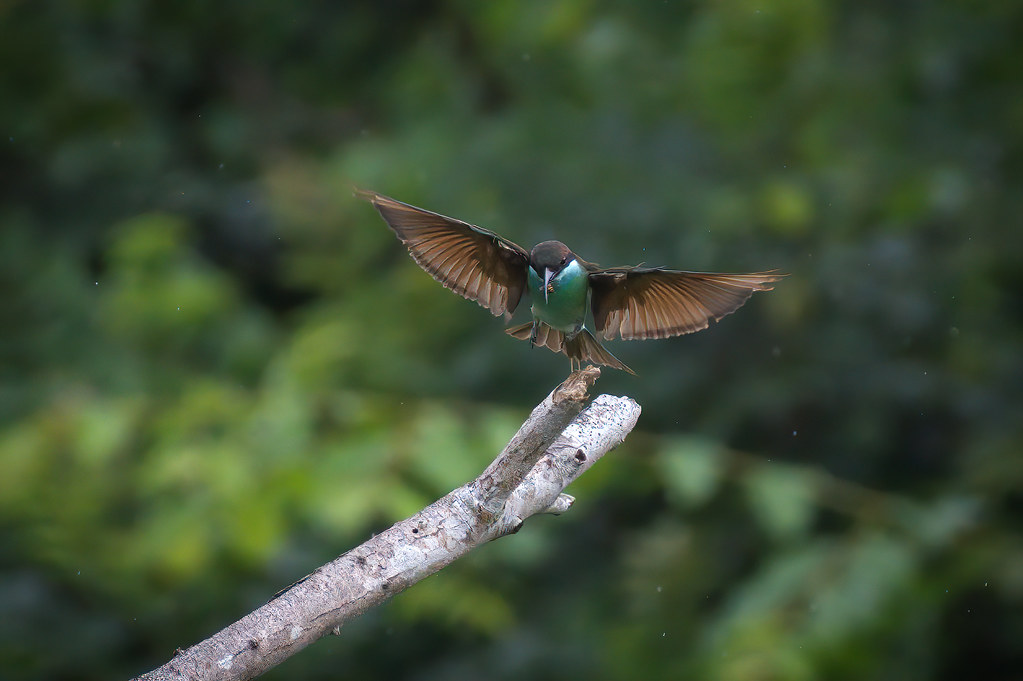 Blue-tailed bee catcher - Merops philippinus
