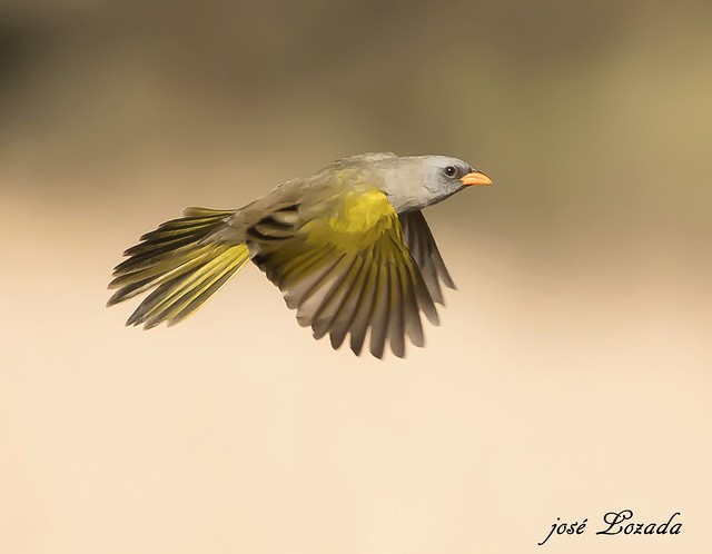 Verdón una linda ave de los pastizales de Córdoba!!!