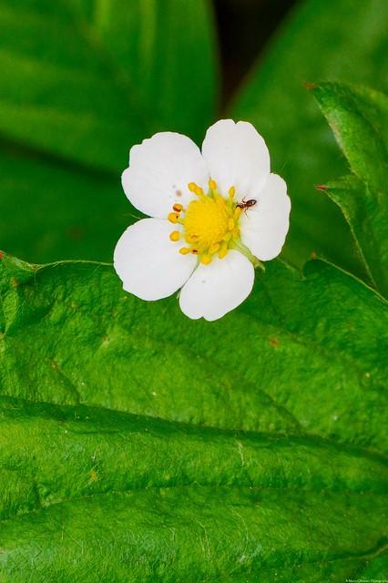 Tiny raspberry flower