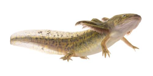 Larval Tiger Salamander