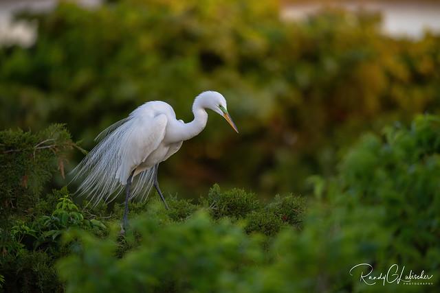 Great Egret - Ardea alba | 2020 - 4