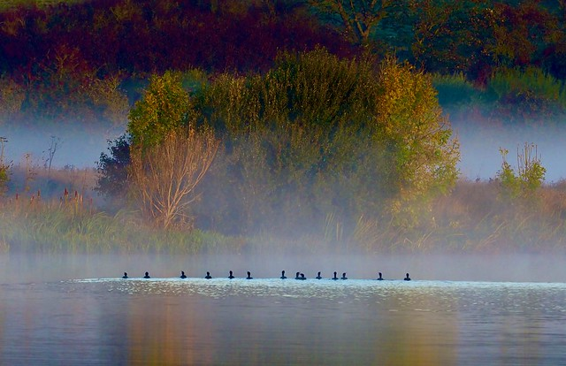 A line of Cormorants on an Autumn morning.