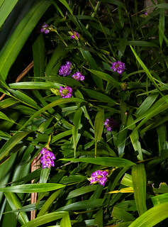 Elleanthus amethystinus species orchid 5-20