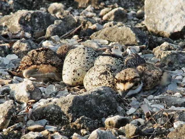 Killdeer chicks and egg 04-20200708