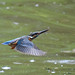 Kingfisher -202007041112.jpg