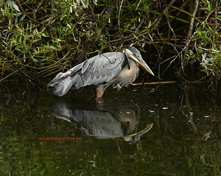 Great blue heron in the creek