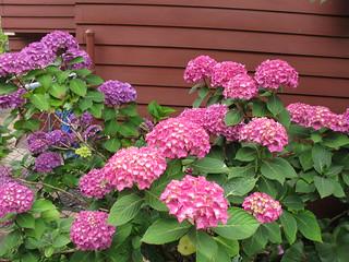 Portland,Oregon: pink hydrangeas turning purple