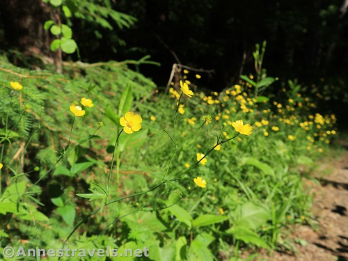 Buttercups along the Orange Trail, Webster Park, New York
