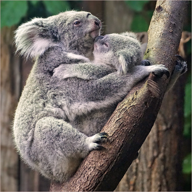 Koala mum with young