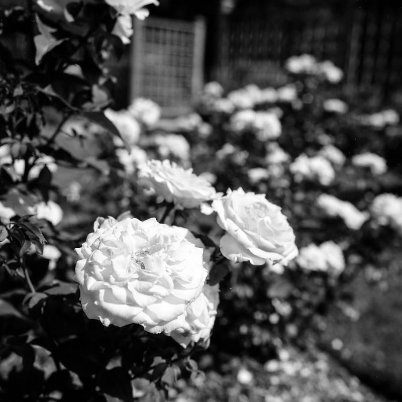 Rose Showing