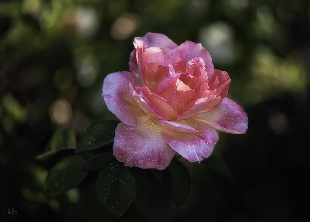 Rosa Gallica - French Rose