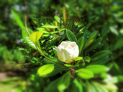 """The Wild Rose"""