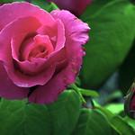 La rosa i la poncella