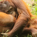 Borneo-Orang-Utan (Lat. Pongo pygmaeus)