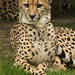 Südafrikanischer Gepard (Lat. Acinonyx jubatus)