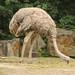 Nordafrikanischer Strauß (Lat. Struthio camelus camelus)