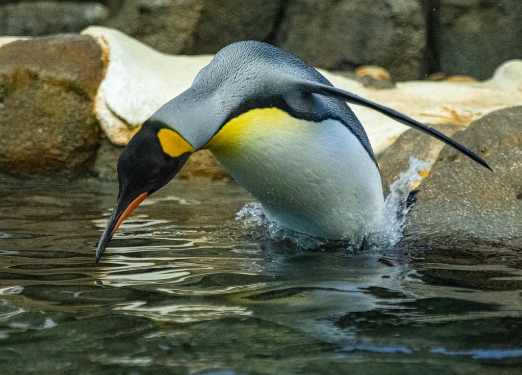 CZ-Penguins_14
