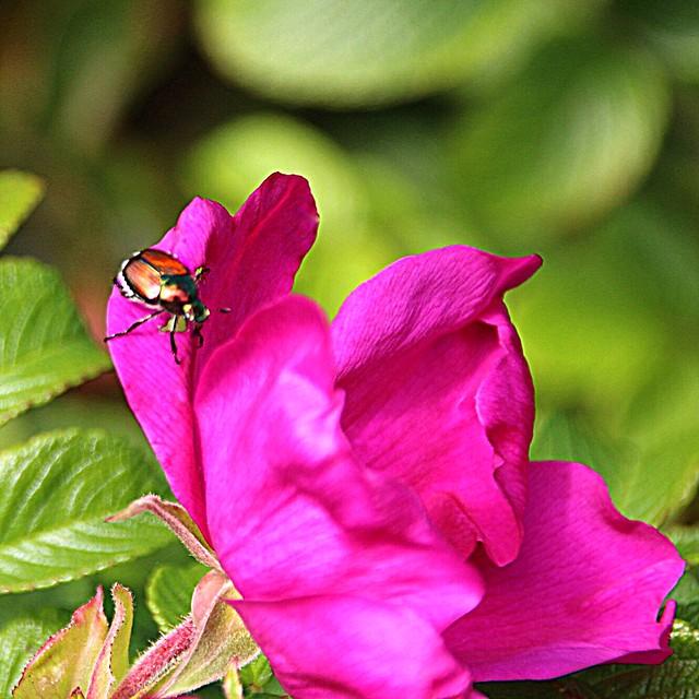 Lake Placid - New York - Flower Garden -  Beetle
