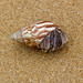 wildhareuk posted a photo:	Large hermit crab