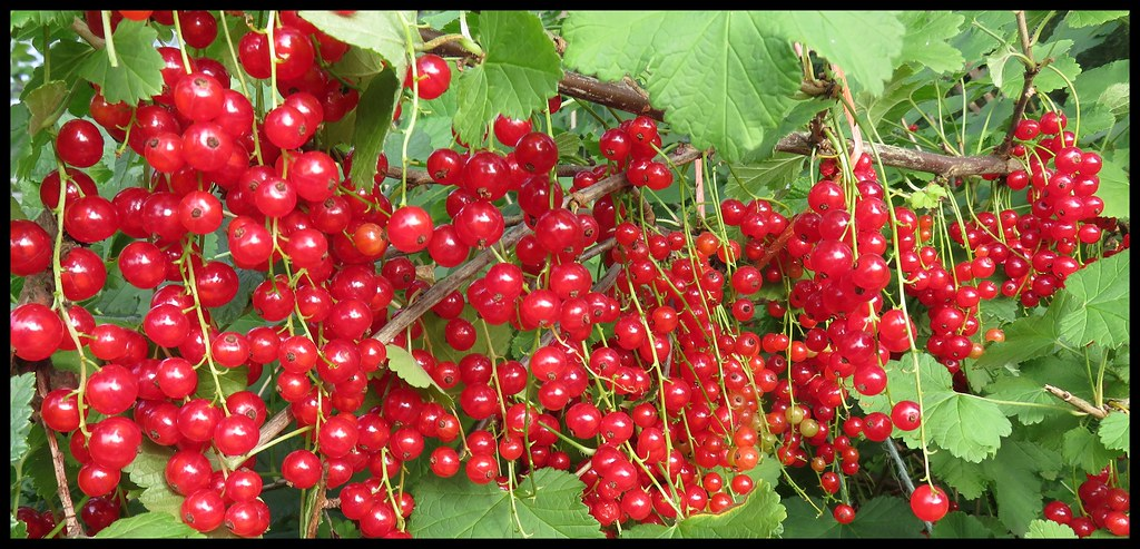 Rich Redcurrants