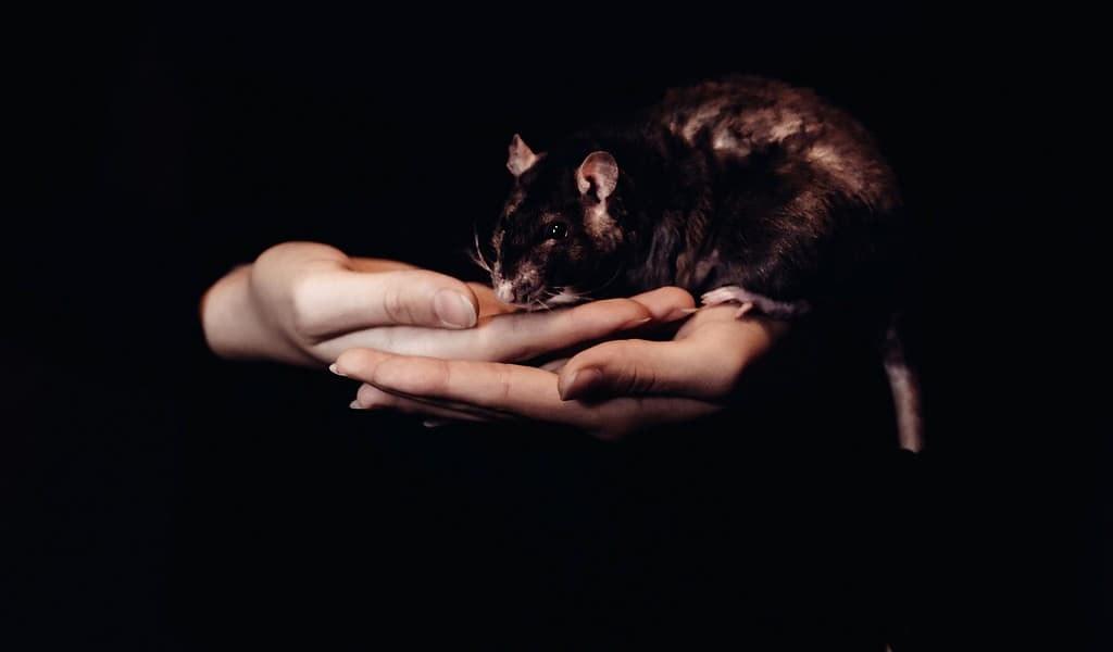 Les rats et l'effet spectateur