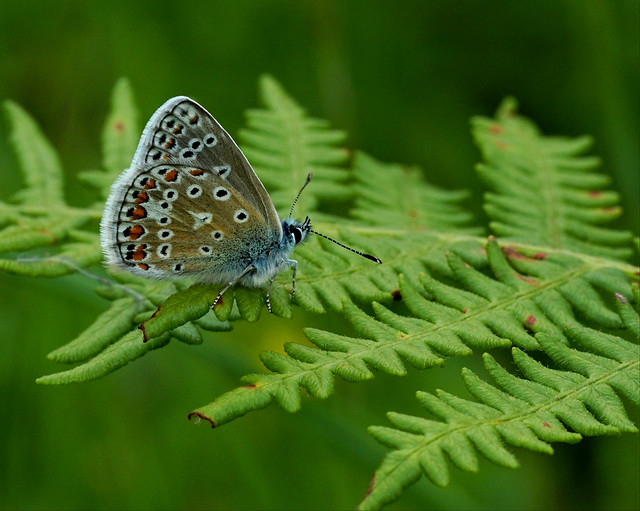 Common Blue Butterfly - male