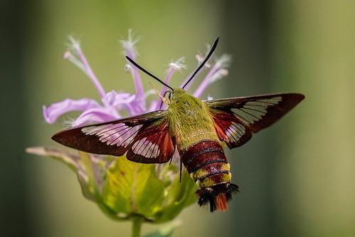mtairyarboretum hummingbirdmoth ohio hamiltoncounty cincinnati butterfly