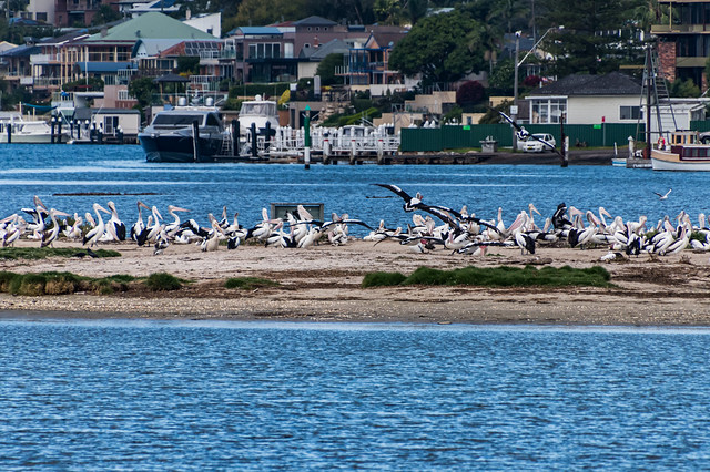 Pelicans on the breeding reserve