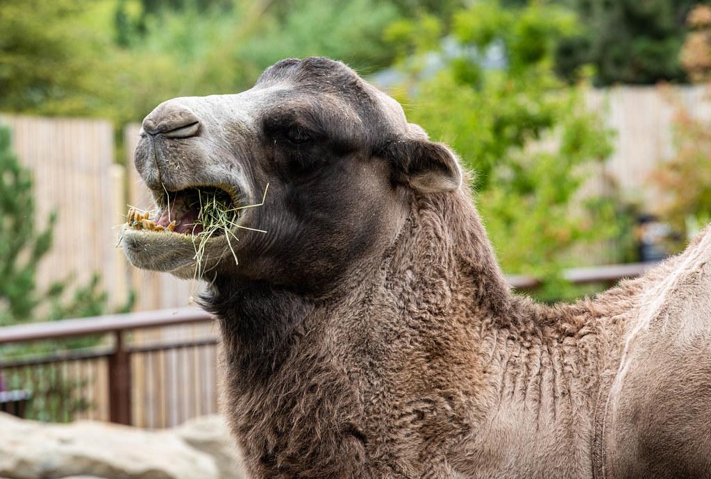 Bactrian Camel_1