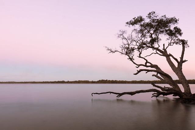 Weyba tree at dusk #2