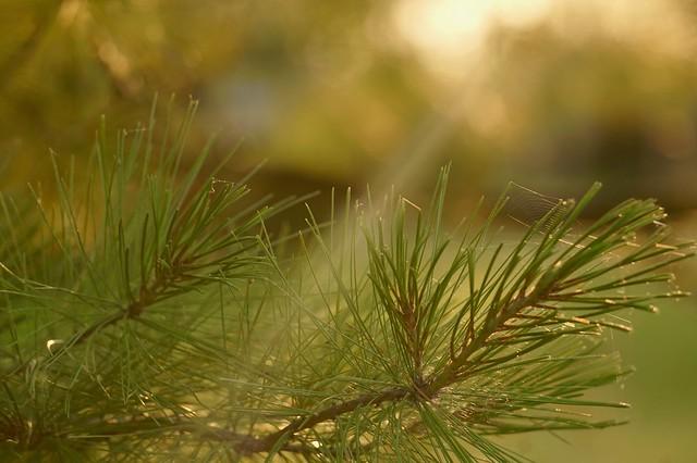 Light on Pine