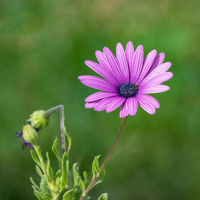 Enjoying the outdoors - a pale Purple Gazania Flower
