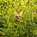Not so well hidden Red Fox