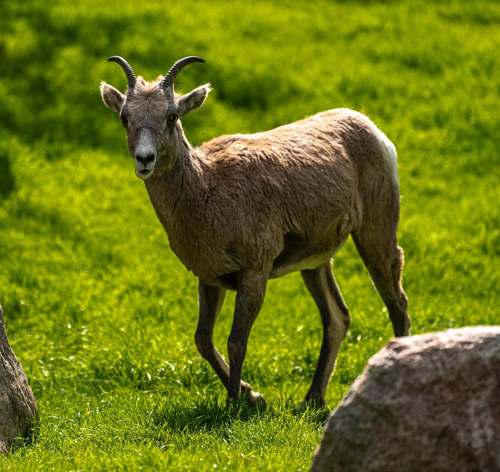 Bighorn Sheep_3