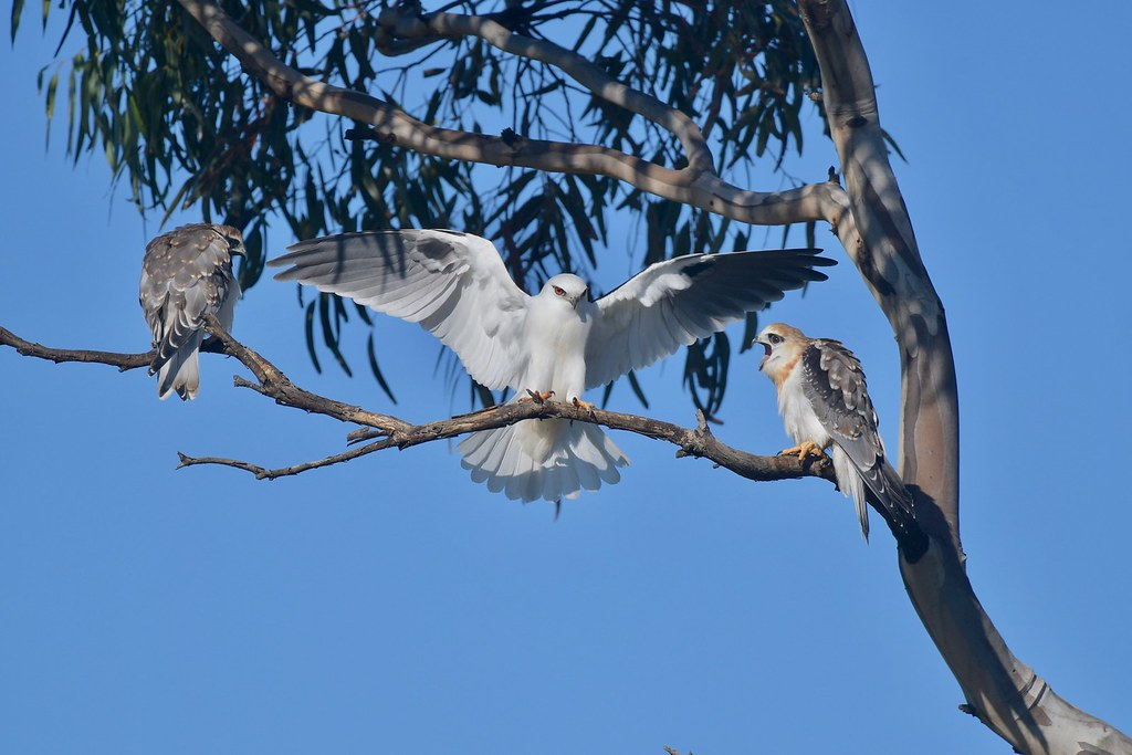 Black - shouldered Kites ( We have been waiting all morning )
