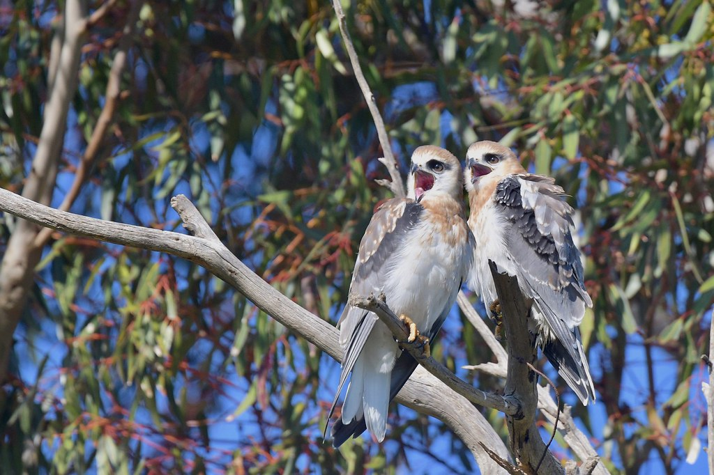 Black-shouldered Kites Juv. ( the singing pair )