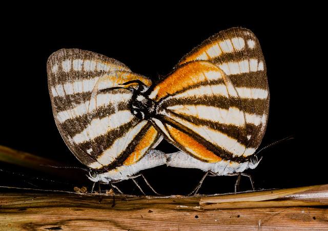 Lepidoptera - Copulation