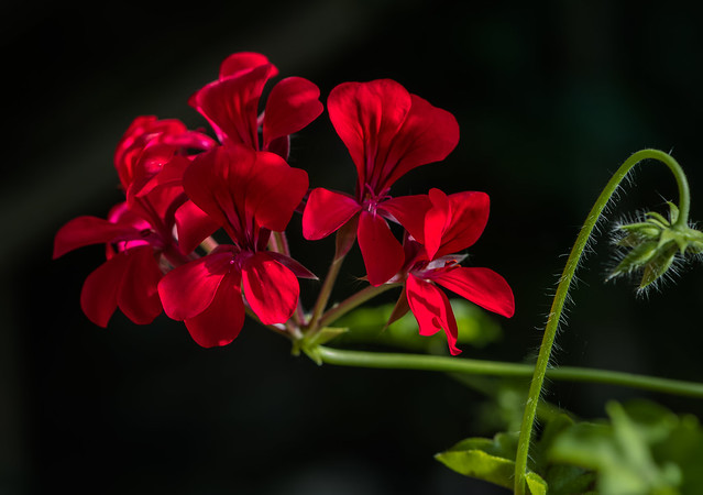 Red Ivy-leaved trailing Pelargoniums.