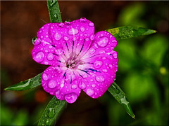 Summer flower bloom with raindrops