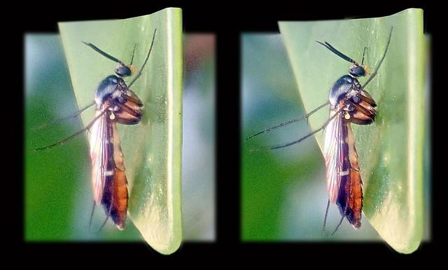 Keroplatidae TTW