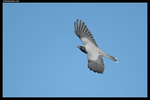 Black-faced Cuckooshrike: Outstretched | by birdsaspoetry