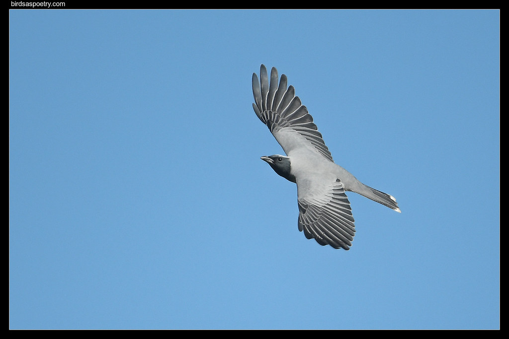 Black-faced Cuckooshrike: Outstretched