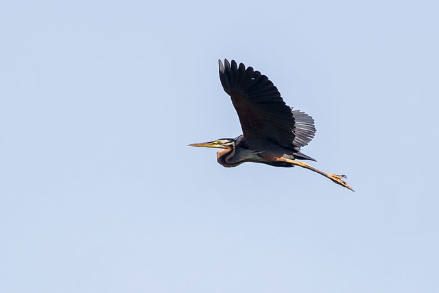 Purple Heron  in flight