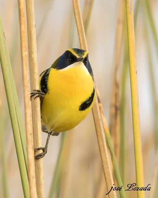 Tachurí 7colores!!! Esta hermosa ave la encontramos al margen de los Lagunas o lagos en los juncales!! Se alimenta de insectos. Córdoba