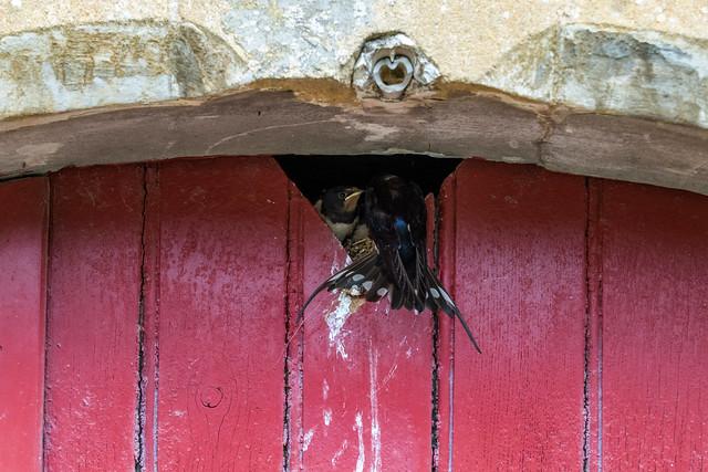 Feeding swallow