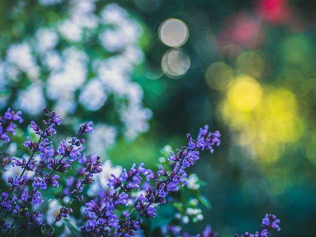 Blooming Sage