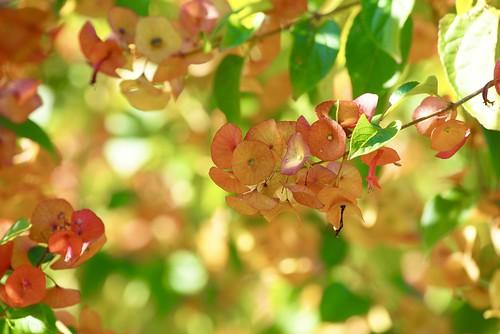 northcoastregionalbotanicgardens coffsharbour mandarinsunrise mandarinsunrisechinamanshat holmskioldiasanguinea