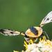 Breitflügelige Raupenfliege (Ectophasia crassipennis) (4)